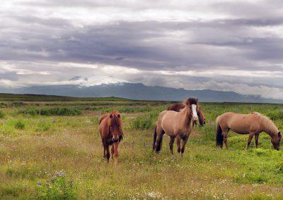 Islandske heste med gletsjervulkanen Eyjafjallajökull i baggrunden - foto: Lars Viberg - ISLANDSREJSER
