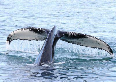 Prøv en spændende og uforglemmelig hvalsafari.