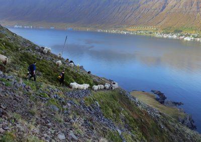 Fårene drives rundt langs klippevæggen - med udsigt over til Neskaupstadur ved Østfjordene