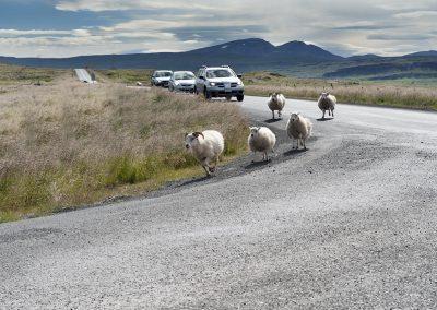 Får på vejen ses overalt i Island - så man skal holde godt øje med disse