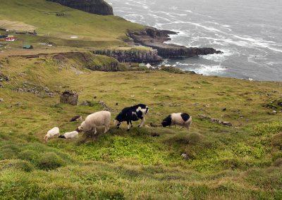 Får på Færøerne - et almindeligt og skønt syn alle steder.