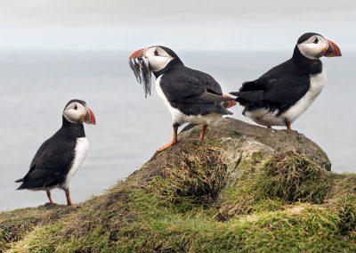 Der er masser af søpapegøjer (lunder) på Mykines, den fuglerige ø på Færøerne.