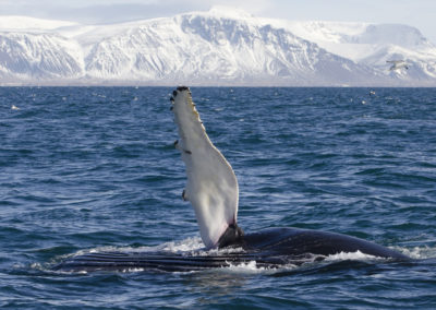 Hvalsafari fra Reykjavik - aktiviteter og dagture i Island