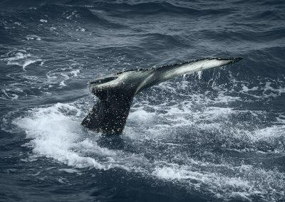 Halen af en pukkelhval :: foto: Lars Viberg - ISLANDSREJSER