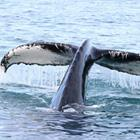 Husavik frister med spændene hvalsafari i det hvalrige område mod nord.
