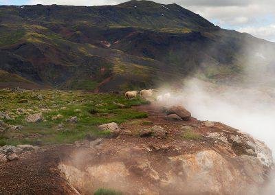 Får og geotermisk aktivitet ved Hengill i Island