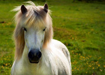 Dejlig islandsk hest :: foto: Lars Viberg - ISLANDSREJSER