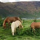"""Området ved Skagafjördur kaldes ikke uden grund """"hestenes dal""""."""