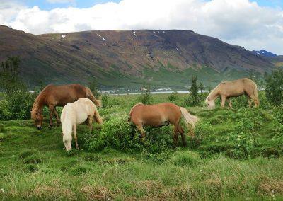 De charmerende og seje islandske heste