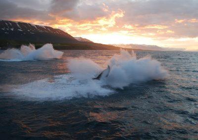 Hvalsafari i Island fra Akureyri