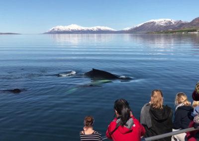 Hvalsafari på kør-selv ferie og bilferie i Island fra Akureyri