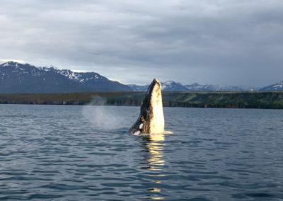 Hvalsafari i Island fra Dalvik på kør-selv ferie med ISLANDSREJSER