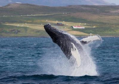 Hvalsafari i Island fra Holmavik på kør-selv ferie og bilferie med ISLANDSREJSER