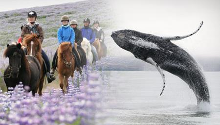 Hvalsafari og ridetur på islandske heste
