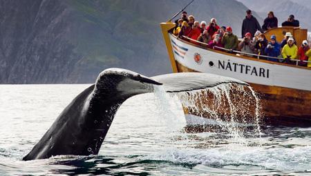 Hvalsafari i Island fra både Reykjavik, Husavik, Akureyri, Snæfellsnes, Dalvik og Holmavik