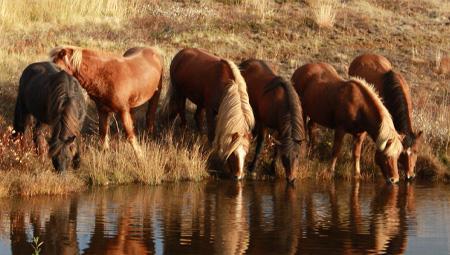 Rideture på islandske heste i det nordlige Island med ISLANDSREJSER