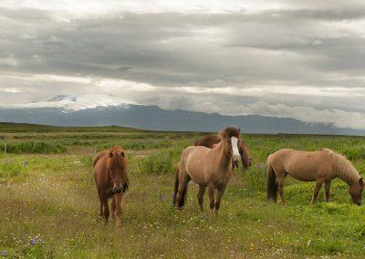 """Vores """"naboer"""" - Eyjafjallajökull i baggrunden"""