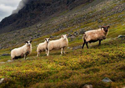Nysgerrige får ses her ved Vestfjordene