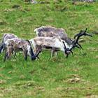 Ved Østfjordene kan I også være heldige at se flokke af rensdyr.