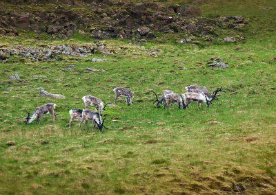 Ved Østfjordene kan man opleve store flokke med rensdyr