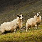 Fakta om Island - får - ifm jeres rejse eller ferie til Island