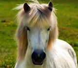 Islandske heste - altid et bekendskab værd