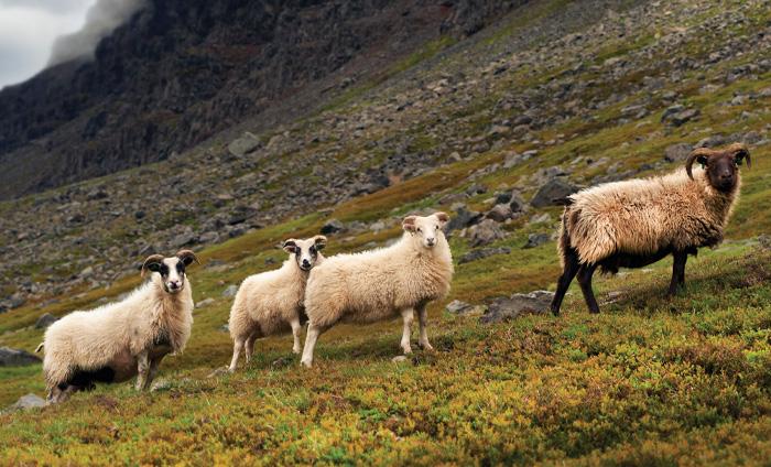 Fritgående får i bjergene i Island - den islandske sweater med ISLANDSREJSER