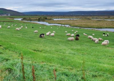 Får og frodige marker i Nordisland på kør-selv ferie bilferie og grupperejser i Island med ISLANDSREJSER
