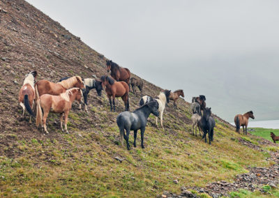 Islandske heste på bakke på kør-selv ferie bilferie og grupperejser i Island med ISLANDSREJSER