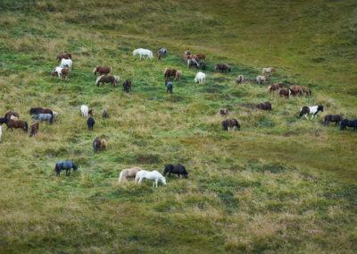 Islandske heste i Nordisland på kør-selv ferie bilferie og grupperejser i Island med ISLANDSREJSER