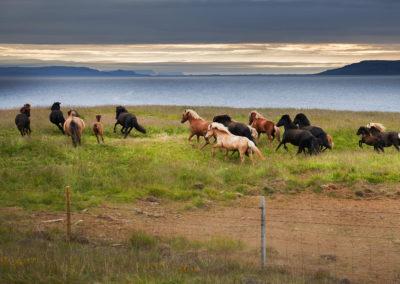 Islandske heste ved Vestfjordene på kør-selv ferie og bilferie i Island med ISLANDSREJSER