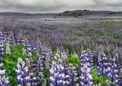Lupinmarker - et klassisk syn på kør-selv ferie bilferie og grupperejser i Island med ISLANDSREJSER