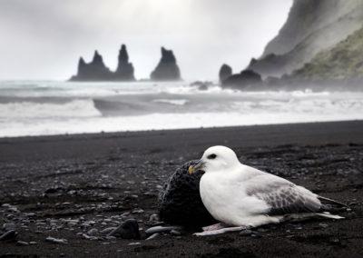 Mallemuk ved Reynisfjara og Vik på kør-selv ferie, bilferie og rejser til Island med ISLANDSREJSER