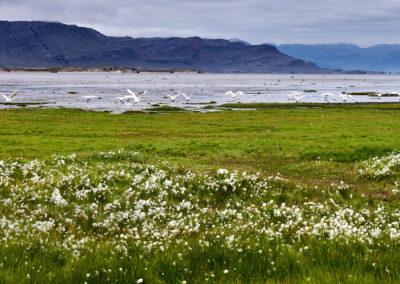 Svaner ved sydkysten i Island Bjerge i Sydøstisland på kør-selv ferie, bilferie og rejser til Island med ISLANDSREJSER